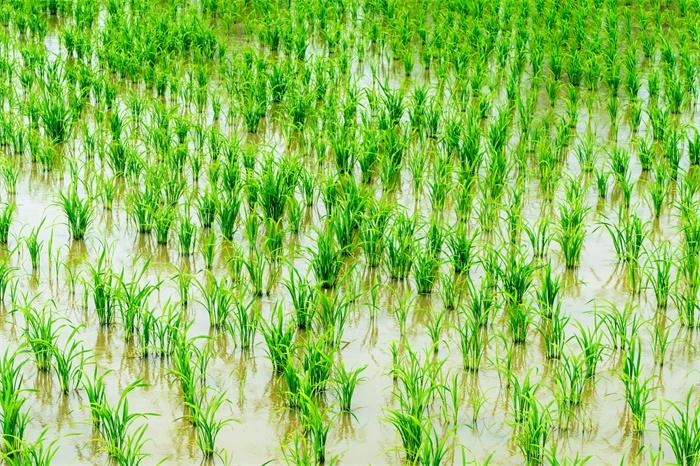 携手巴斯夫!隆平高科将攻克又一难关:开发全新非转基因水稻系统