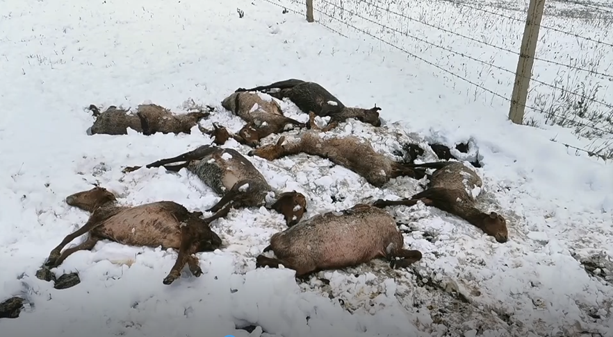 高德招商:雪降温致喀拉峻牧区四百多牲畜高德招商图片