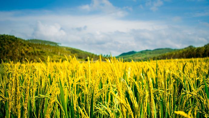 """康熙育种的皇家稻米,如今搞起休闲旅游:""""一株水稻""""里的农业现代化图片"""