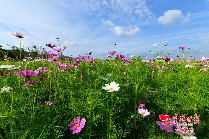 东阳:最美田园波斯菊绽放图片