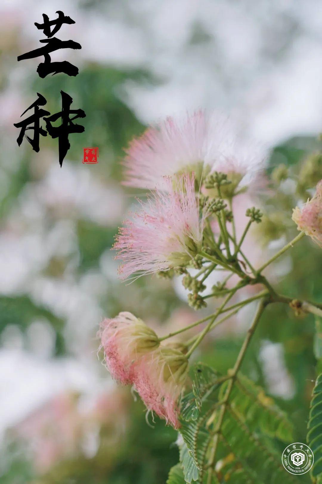 芒种已至夏木荫,暑气渐升合欢锦图片