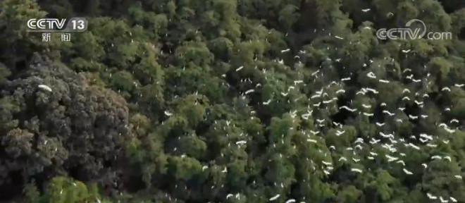 重庆忠县:数千只鹭鸟安家 生态美景如画图片