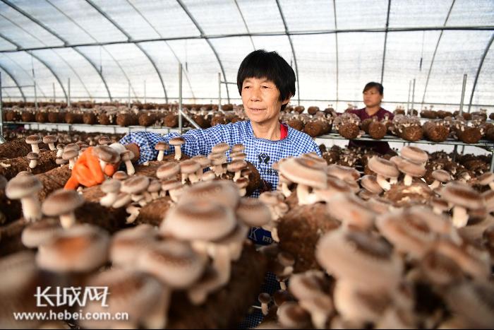 """【抓""""六稳""""促""""六保""""一线看落实】南和县:香菇种植带领群众稳定脱贫"""