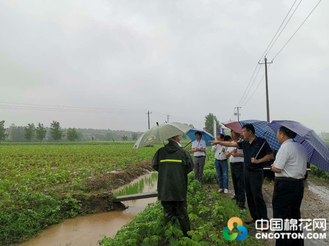 图片新闻 安徽:暴雨天气导致当地棉株出现倒伏