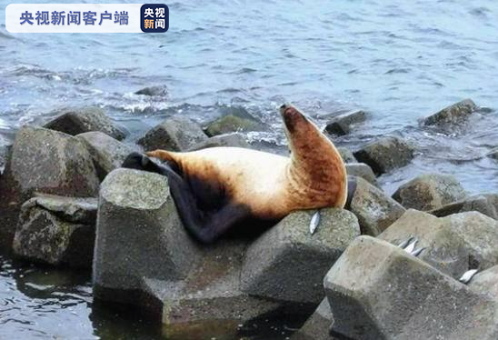 杏悦,体长2米海狮海事部门提醒勿杏悦伤害图片