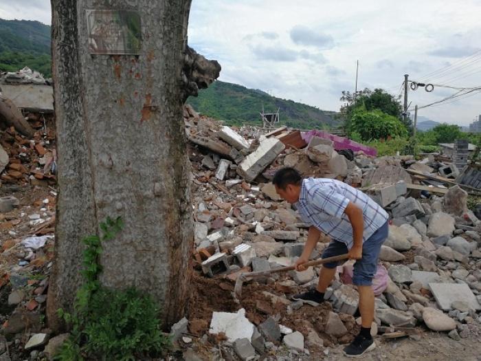 莲都区接力救助一株200多岁高龄的濒死古树图片