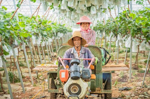 图为香风翡翠青提特约供货基地——华侨庄园的工人