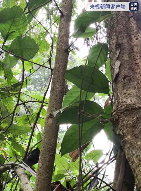 杏悦,平首次发现濒临杏悦灭绝物种藤枣中国仅此1属图片