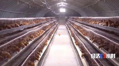 庄台下面饲养的禽类