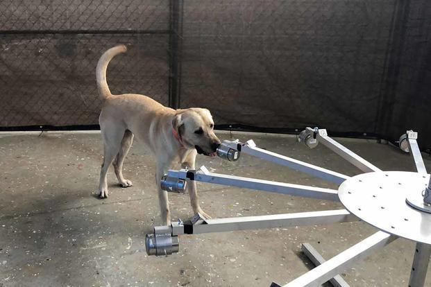 严峻疫情形势之下 美军开始研究靠狗闻出新冠病毒
