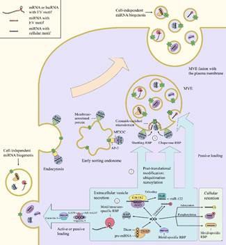 健康学院团队在《分子肿瘤》发文阐释细胞外囊泡和肿瘤免疫