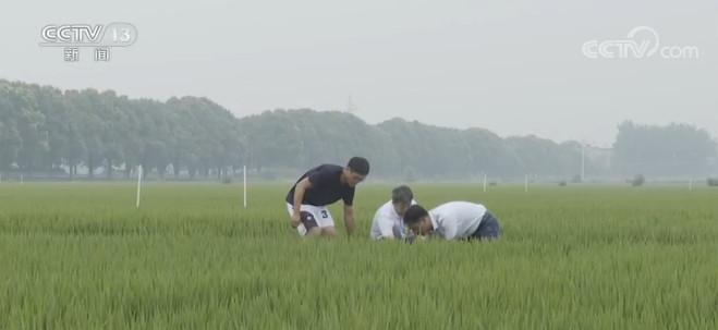 [赢咖3娱乐]苏水稻拔节长赢咖3娱乐穂农技人员进图片