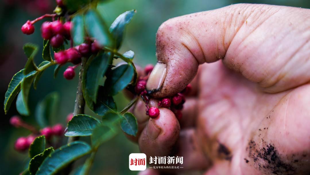 抢农时采花椒满手是伤 四川椒农:麻味不够就抿下手指