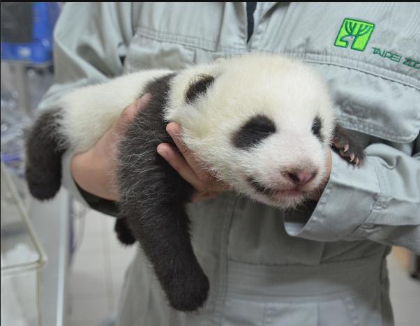 台北动物园为赠台大熊猫幼崽征名 这几个最得民心
