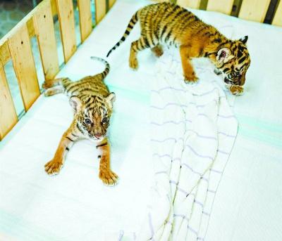 """上海动物园新生孟加拉虎""""小南"""""""
