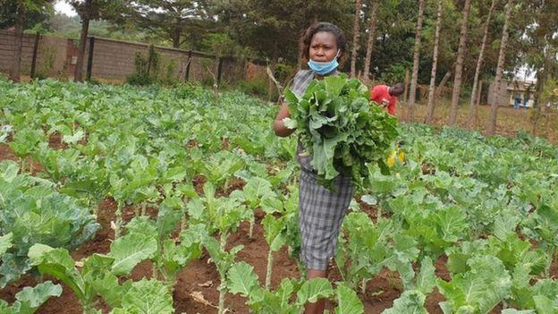 肯尼亚中部一所私立学校的操场种上了蔬菜。(图:BBC)