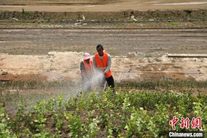 图为工工资中老铁路中国段边坡种上绿植。