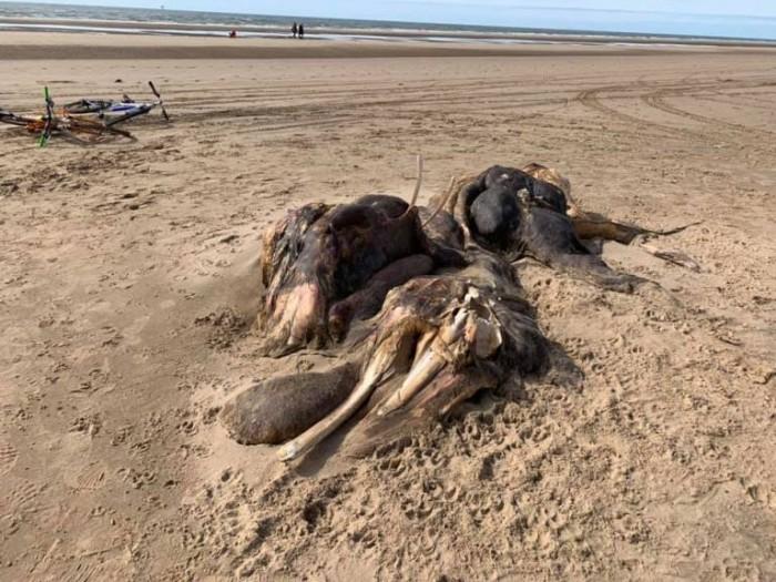 神秘巨型海洋生物尸体被冲上英国海滩   没人能够确定是什么物种