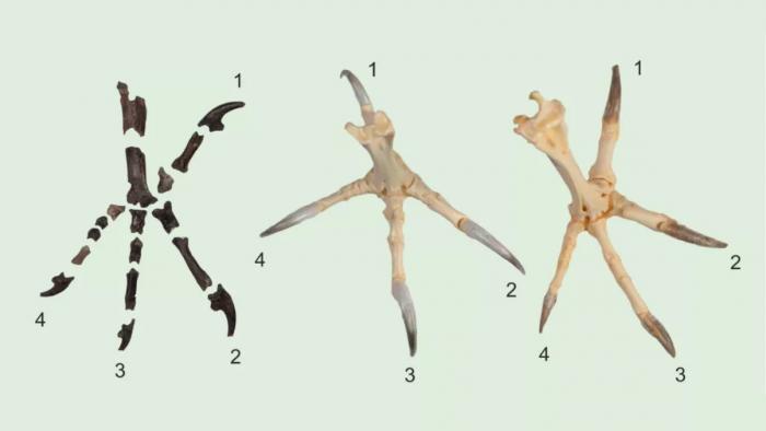 6000万年前脚爪异于现今 古老猫头鹰或有不同捕猎方式