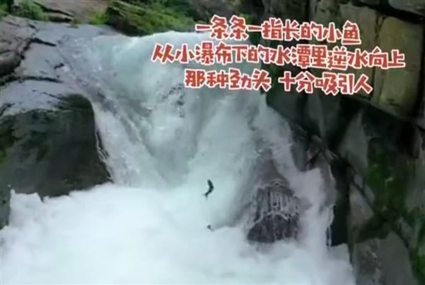 景区上演现实版鱼跃龙门火了!网