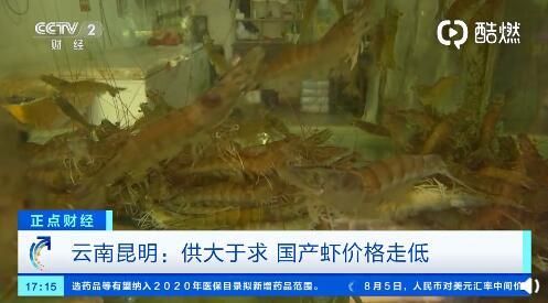 国产鲜活虾价格降了!云南基围虾每公斤便宜20元,竹节虾便宜了30元