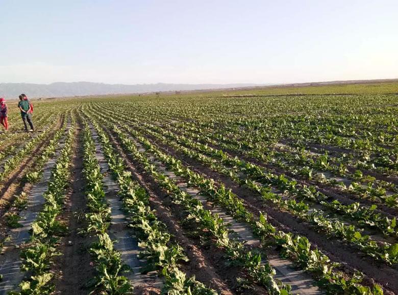 内蒙古本榨季产糖52.5万吨 截至7月底产销率96%