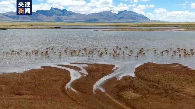 「菲娱3平台开户」上百只藏羚羊扎堆下水图片