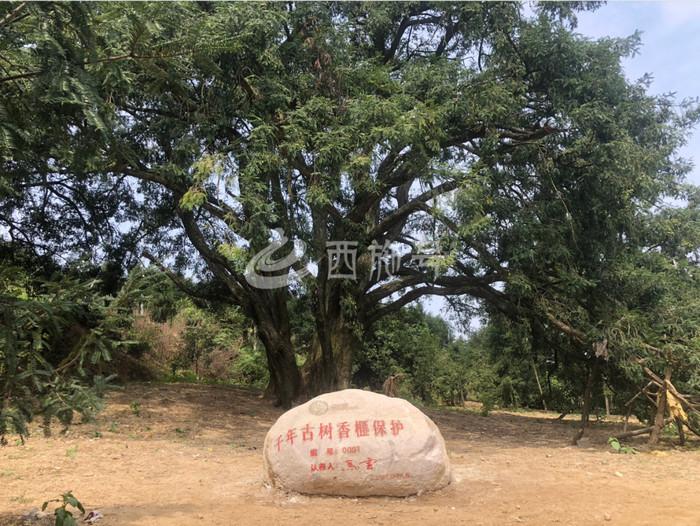刚刚!马云跟诸暨签约啦!认养两棵千年香榧古树!