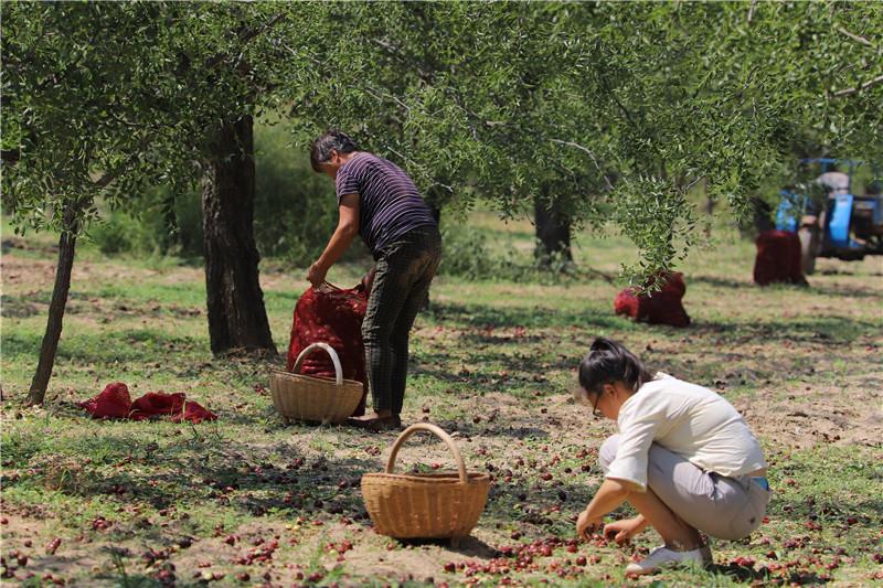 河南三门峡三万多亩大枣进入采摘季