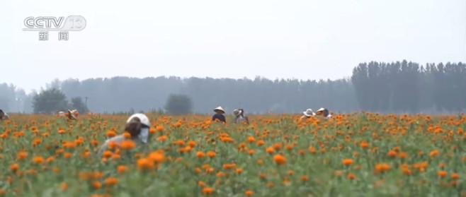 河南开封:黄河滩区药菊盛开 群众采摘增收忙图片