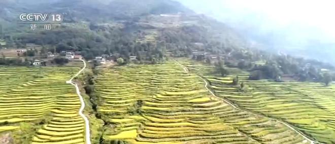 四川通江:推广优质水稻 预计较去年增产5%图片
