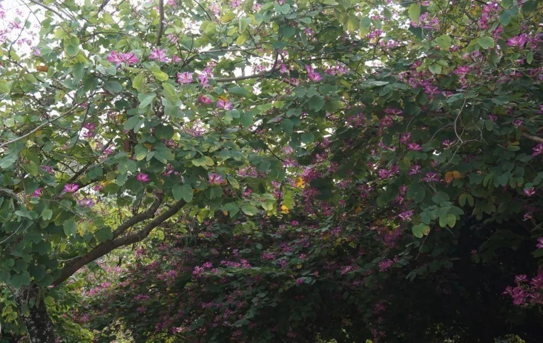 开 盛△洋放的怒紫荆。