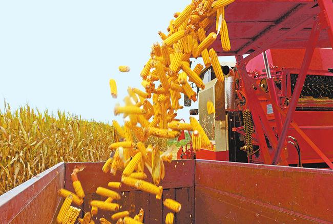 农牧一体融合发展 河南省全株青贮玉米发力全产业链图片