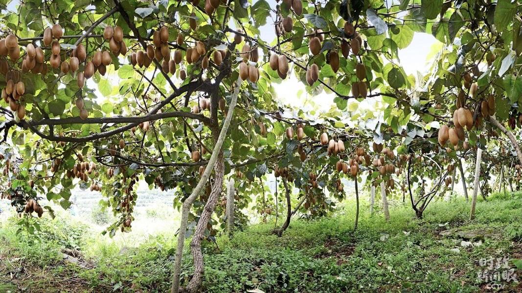 △猕猴桃是菖蒲塘村村民的主要增收家当,现莳植4300多亩。