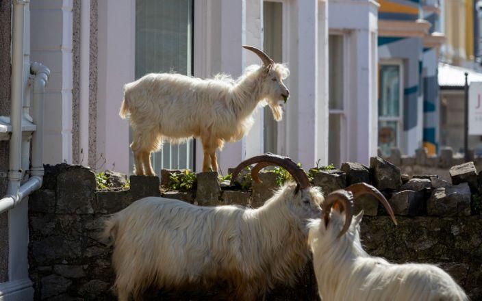 美国山火持续蔓延 一小镇为抵御山火雇了一群羊