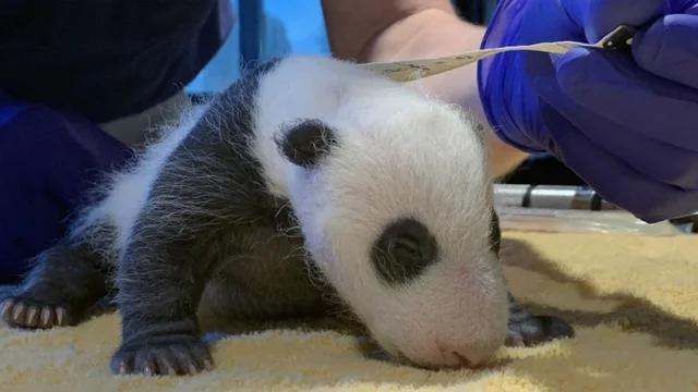 旅美大熊猫美香幼崽体重曝光 性别将在数周后公布