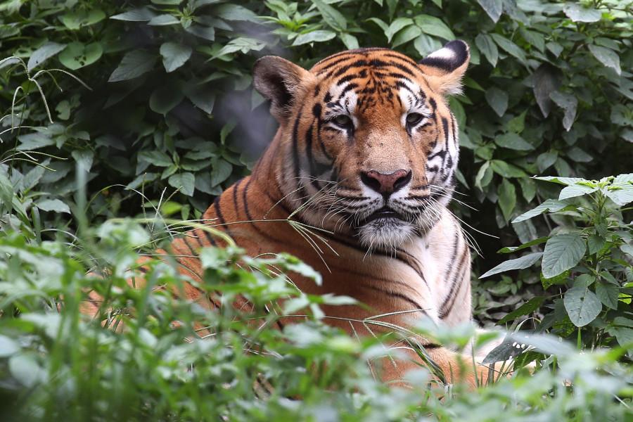 尼泊尔奇特旺国家公园现老虎杀人事件
