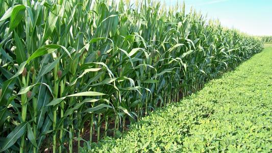 玉米价格大涨,下游急需!谁将受益?券商分析师圈出两受益标的