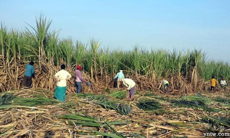 印度继续维持食糖出口补贴政策 给国际糖价带来压力