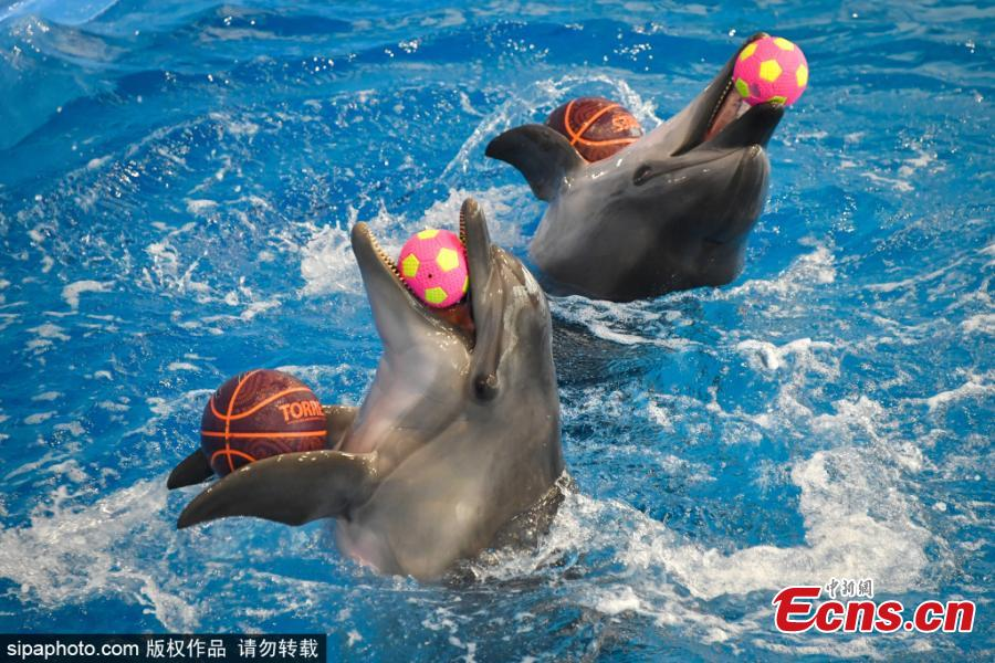 <p>Dolphins during an open training session in the dolphinarium at the Okean medical centre in Vladivostok, Russia, Jan. 12, 2021. (Photo/Sipaphoto) <br><br>  The Okean medical centre has a wide range of health resort facilities, including mud baths, a physiotherapy department, a hydrotherapy department, a seawater pool, a gym, healthy meals, and hotel accommodation. At the beginning of 2021, the dolphinarium started to offer a new service, dolphin therapy, that includes a programme of correction and rehabilitation. The dolphinarium is currently home to four Black Sea common bottlenose dolphins named Tor, Dani, Ruta and Gela.</p>