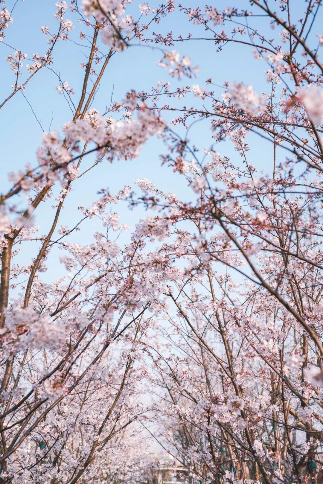 华东师大最美樱河步道,今年有花也有你!图片