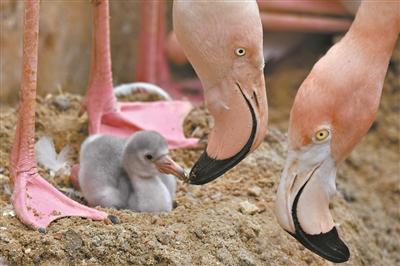 火烈鸟家族在深圳逐渐壮大