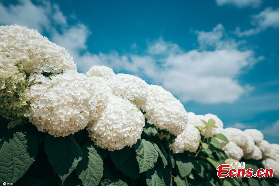 <p>This undated photo shows south China mountain flower hydrangea blooms in Yiliang County, Kunming City, Yunnan Province in early summer, creating a charming field of flowers. (Photo/IC)</p>