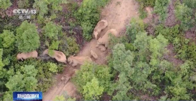 云南北移亚洲象群回家第一天 林间漫步很悠闲