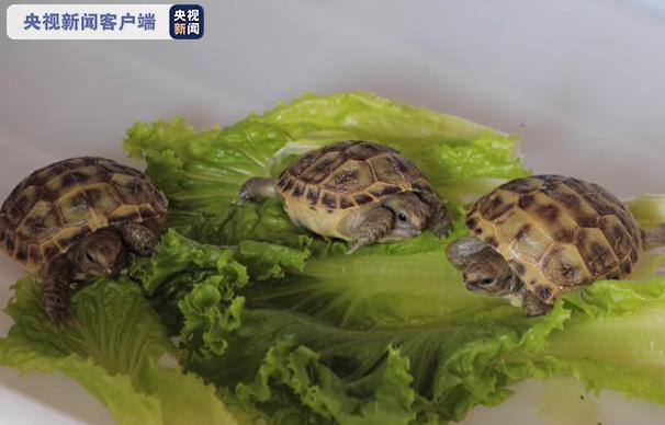 国家一级保护动物四爪陆龟首次人工繁育成功
