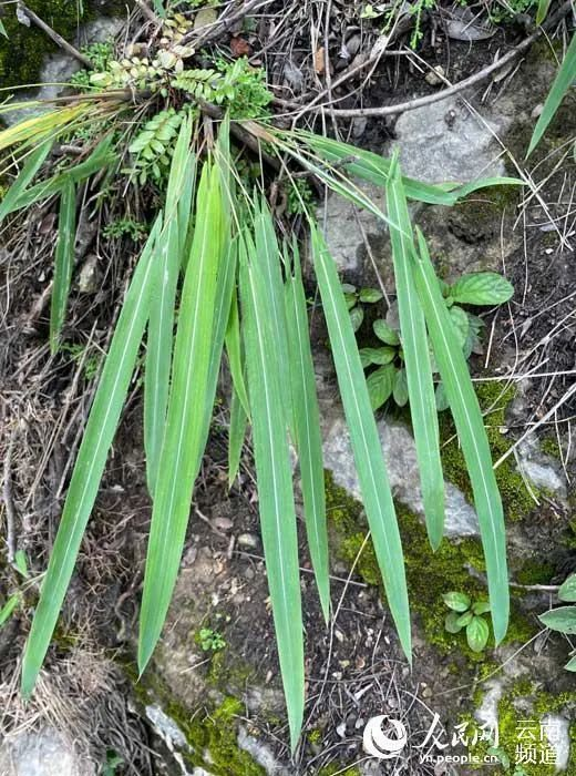 约300余株!玉溪易门发现箭叶大油芒野生种群
