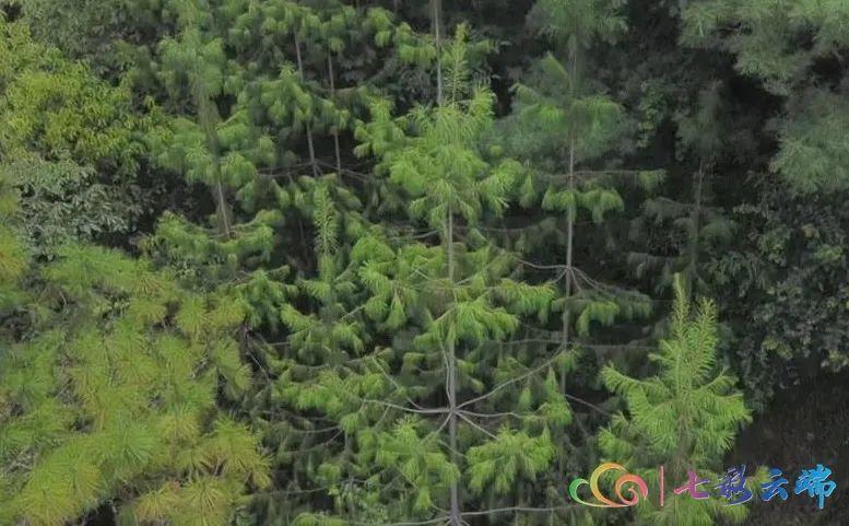"""""""极小种群物种保护""""成效如何? 珍稀植物""""巧家五针松""""种群规模大量增加啦!"""