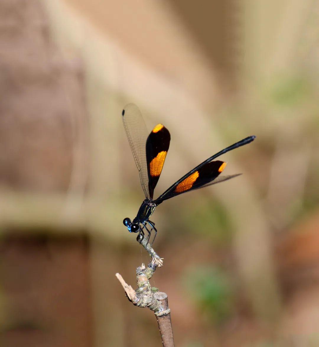 追蜻蜓的人