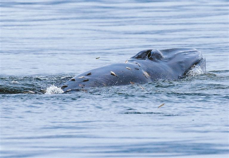 ▲在大鹏湾游弋的布氏鲸。