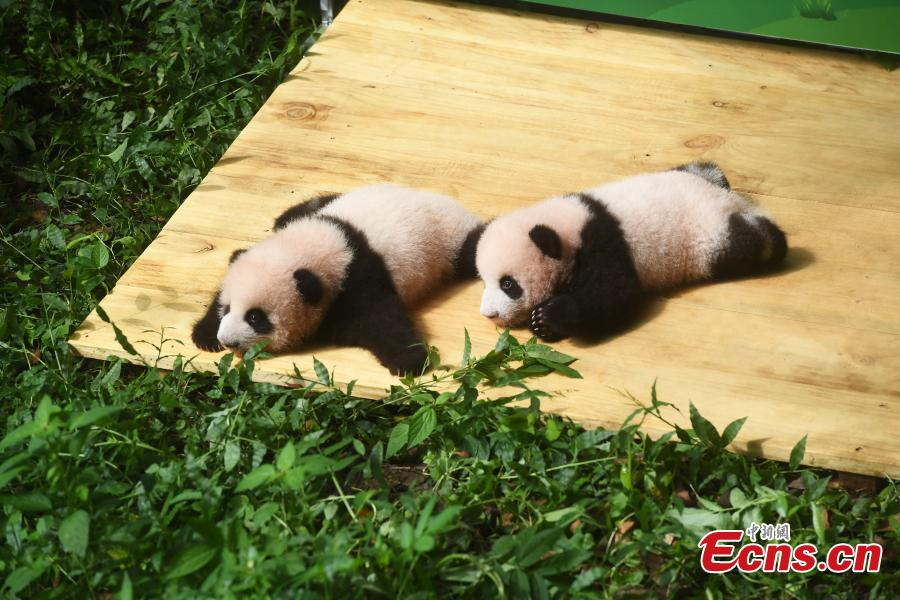 <p>Giant panda twins make their public debut at Chongqing Zoo in southwest China's Chongqing, Sept. 17, 2021. The zoo held an event on Thursday to invite the public to solicit names for the 100-day-old twin cubs. The twin male cubs were born to giant panda Mangzai, who gave birth to twins for the first time in 2019, on June 10 this year. Both cubs are in good condition now. (Photo: China News Service/Chen Chao)</p>